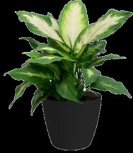dieffenbachia-houseplant